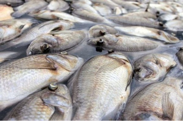 Gabon : inquiétude après la mort mystérieuse de centaines de poissons dans l'Ogooué