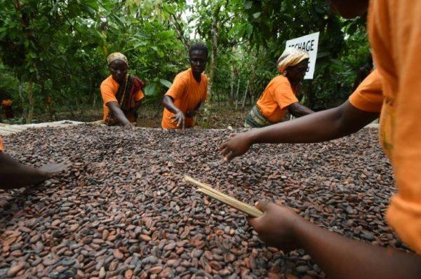 Cacao : le Ghana et la Côte d'Ivoire lèvent la suspension de leurs ventes