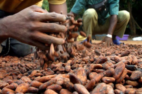 Cacao: vers un prix plancher à 2600 dollars la tonne