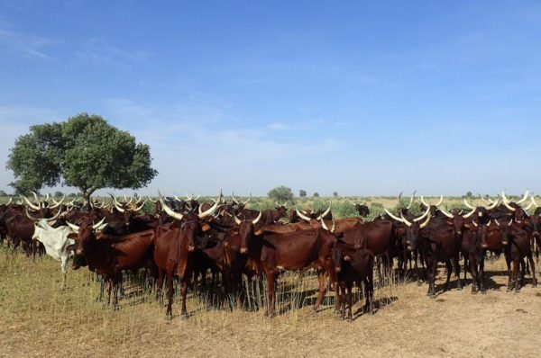 Tchad: les éleveurs demandent la réouverture de la frontière centrafricaine
