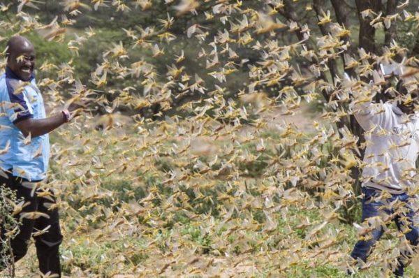 Afrique de l'Est : les infestations de criquets menacent la sécurité alimentaire