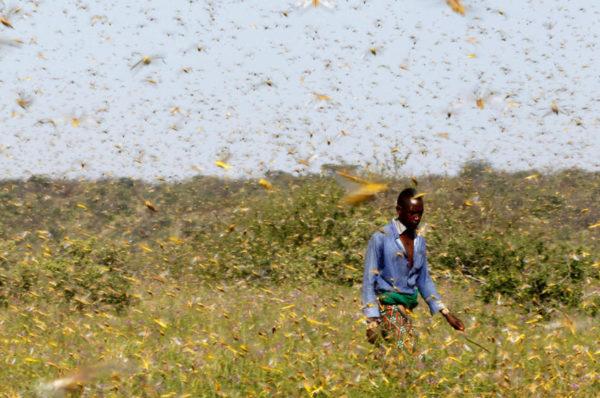En pleine pandémie de coronavirus, l'Afrique de l'Est retient son souffle avant une nouvelle vague de criquets