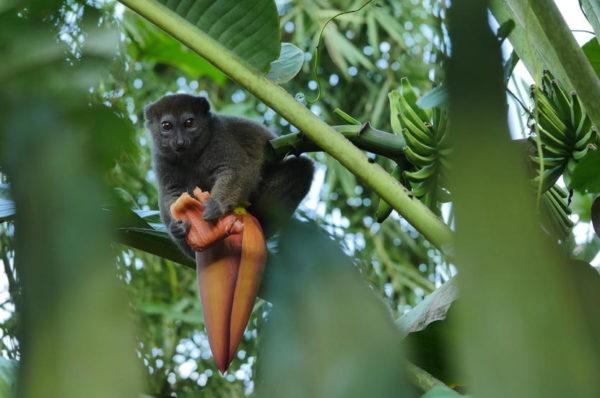 Madagascar: les lémuriens en danger selon les défenseurs de l'environnement