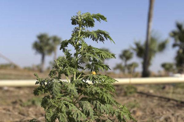 Artemisia et plantes médicinales : le « Covid-Organics », symbole de la recherche malgache