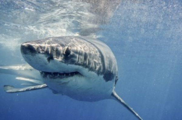 En Afrique du Sud, les grands requins blancs fuient les « baleines tueuses »