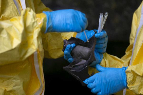 Au Gabon, des scientifiques sur la piste des virus émergents