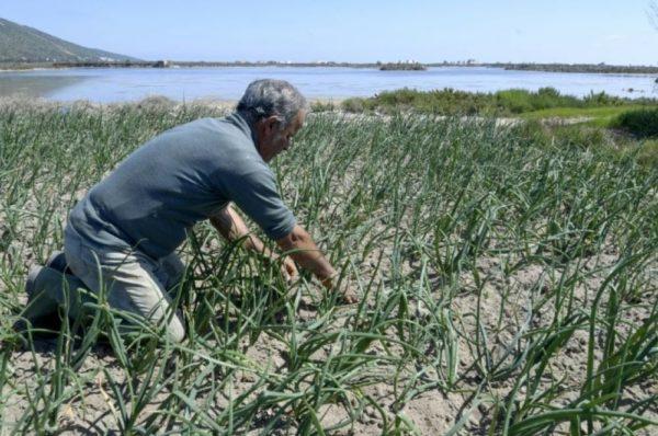 En Tunisie, un système unique de culture sur sable menacé par les dérèglements climatiques