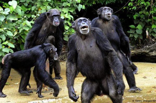 En Guinée, un projet ferroviaire menace des chimpanzés