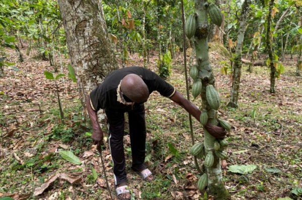 Des pluies irrégulières et des saisons sèches prolongées menacent l'économie cacaoyère du Cameroun