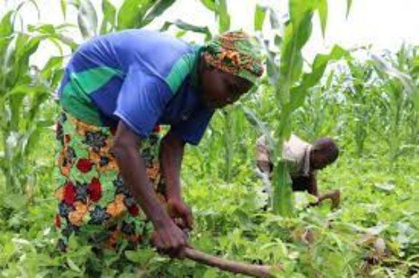 Centrafrique : l'asphyxie du secteur agricole