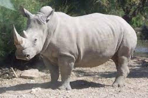Kenya: Najin, l'une des dernières rhinocéros blancs du Nord, prend sa retraite